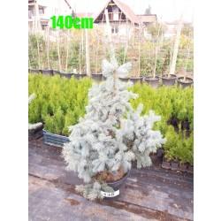 Molid Argintiu Hoopsii NR. 138 (Picea Pungens Hoopsii)