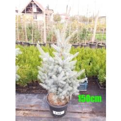 Molid Argintiu Hoopsii NR. 139 (Picea Pungens Hoopsii)