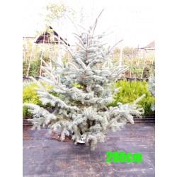 Molid Argintiu Hoopsii NR. 140 (Picea Pungens Hoopsii)
