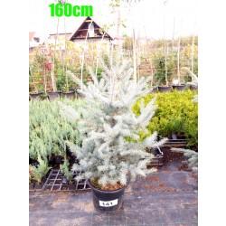 Molid Argintiu Hoopsii NR. 141 (Picea Pungens Hoopsii)