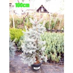 Molid Argintiu Hoopsii NR. 142 (Picea Pungens Hoopsii)
