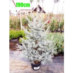 Molid Argintiu Hoopsii NR. 143 (Picea Pungens Hoopsii)