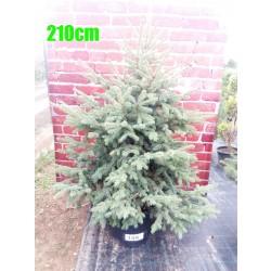 Molid Argintiu NR. 144 (Picea Pungens Glauca)