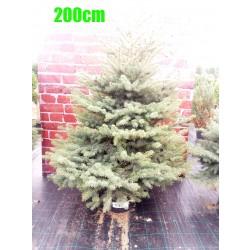 Molid Argintiu NR. 145 (Picea Pungens Glauca)