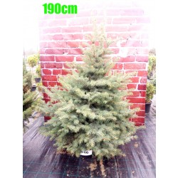 Molid Argintiu NR. 146 (Picea Pungens Glauca)