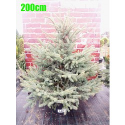Molid Argintiu NR. 148 (Picea Pungens Glauca)