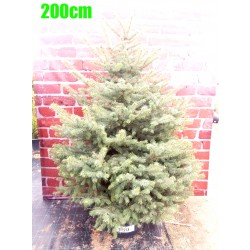 Molid Argintiu NR. 150 (Picea Pungens Glauca)