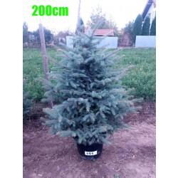 Molid Argintiu NR. 151 (Picea Pungens Glauca)