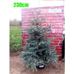 Molid Argintiu NR. 153 (Picea Pungens Glauca)