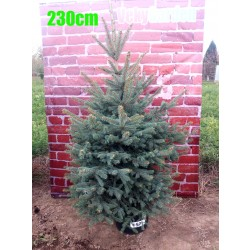 Molid Argintiu NR. 157 (Picea Pungens Glauca)