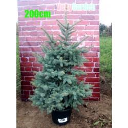Molid Argintiu NR. 158 (Picea Pungens Glauca)