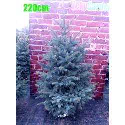Molid Argintiu NR. 162 (Picea Pungens Glauca)