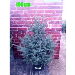 Molid Argintiu NR. 168 (Picea Pungens Glauca)