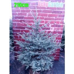 Molid Argintiu NR. 174 (Picea Pungens Glauca)