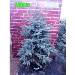 Molid Argintiu NR. 175 (Picea Pungens Glauca)