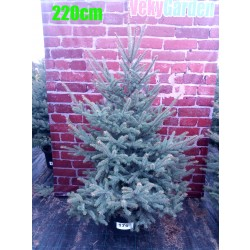 Molid Argintiu NR. 179 (Picea Pungens Glauca)