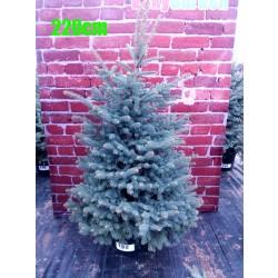 Molid Argintiu NR. 182 (Picea Pungens Glauca)