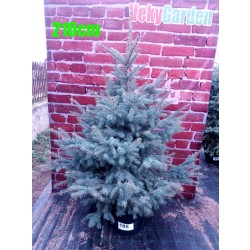Molid Argintiu NR. 185 (Picea Pungens Glauca)