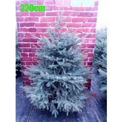 Molid Argintiu NR. 186 (Picea Pungens Glauca)