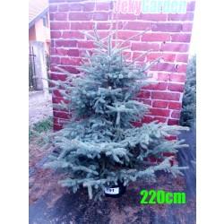 Molid Argintiu NR. 191 (Picea Pungens Glauca)