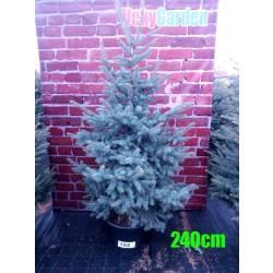 Molid Argintiu NR. 192 (Picea Pungens Glauca)