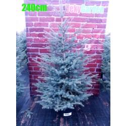 Molid Argintiu NR. 193 (Picea Pungens Glauca)