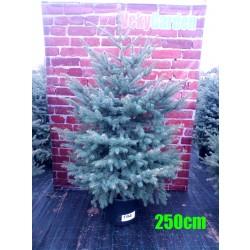Molid Argintiu NR. 194 (Picea Pungens Glauca)