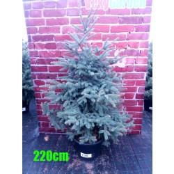 Molid Argintiu NR. 198 (Picea Pungens Glauca)