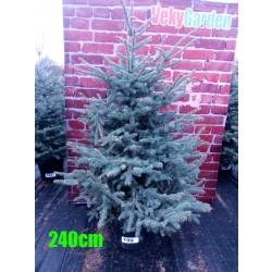 Molid Argintiu NR. 199 (Picea Pungens Glauca)