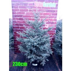 Molid Argintiu NR. 201 (Picea Pungens Glauca)