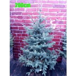 Molid Argintiu NR. 204 (Picea Pungens Glauca)
