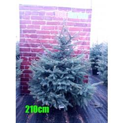 Molid Argintiu NR. 206 (Picea Pungens Glauca)