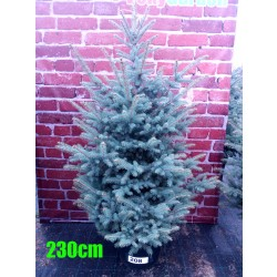 Molid Argintiu NR. 208 (Picea Pungens Glauca)