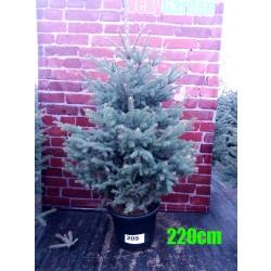 Molid Argintiu NR. 209 (Picea Pungens Glauca)