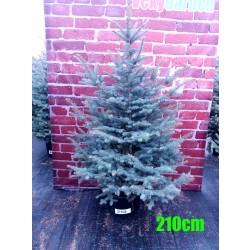 Molid Argintiu NR. 210 (Picea Pungens Glauca)