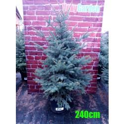Molid Argintiu NR. 214 (Picea Pungens Glauca)