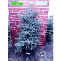 Molid Argintiu NR. 217 (Picea Pungens Glauca)