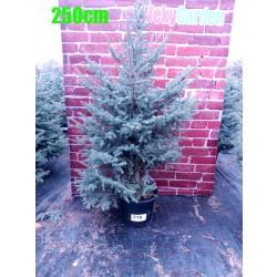 Molid Argintiu NR. 218 (Picea Pungens Glauca)
