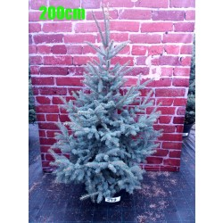 Molid Argintiu NR. 219 (Picea Pungens Glauca)