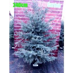 Molid Argintiu NR. 223 (Picea Pungens Glauca)