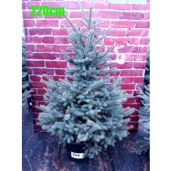 Molid Argintiu NR. 224 (Picea Pungens Glauca)