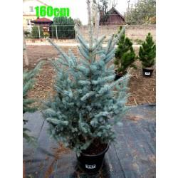 Molid Argintiu Hoopsii NR. 347 (Picea Pungens Hoopsii)