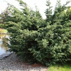 IENUPĂR (Juniperus BLUE ALPS)