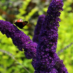 Liliac de Vară (Buddleja davidii Black Knight)