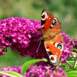 Liliac de Vară (Buddleja davidii ROYAL RED)