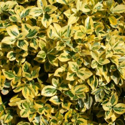 SALBA (Euonymus CANADALE GOLD)