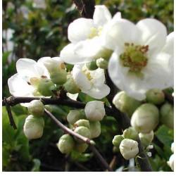 Gutui japonez alb(Chaenomeles japonica)