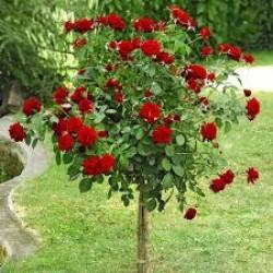Trandafir pomișor  Chrysler Imperial