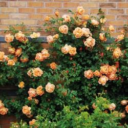 Trandafir cățărător Orange