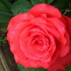 Trandafir teahibrid Comet